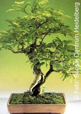 Bonsai - Tamarind, 4pcs