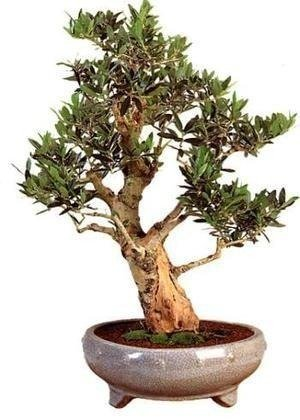 Bonsai - olive tree, 20 pcs.